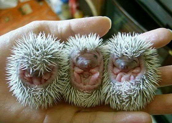 Three baby hedgehogs curled up in a person's hand. Cute!