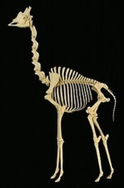 Fake giraffe skeleton